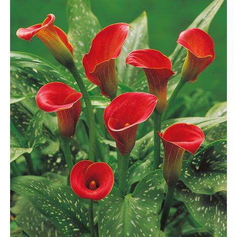 ARUM ROUGE - Le bulbe - Arums