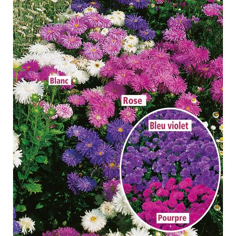 Aster Nains - Blanc (le lot de 3 godets) - Plantes vivaces pour bordures,  rocailles et murets