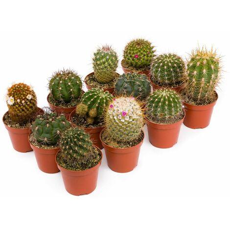 Bandeja Cactus Suculentos 8.5 cm - 12 unidades