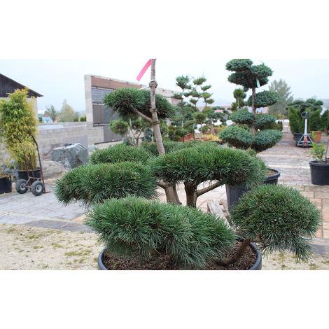 Bergkiefer-Bonsai, Pinus mugo