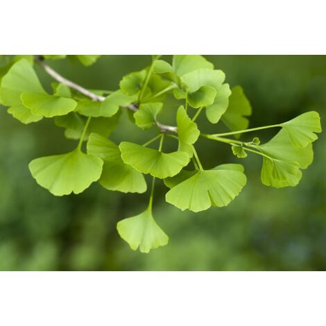 BETULA PENDULA PURPUREA Betulla viola 1 Pianta in vaso alta 120-140 cm