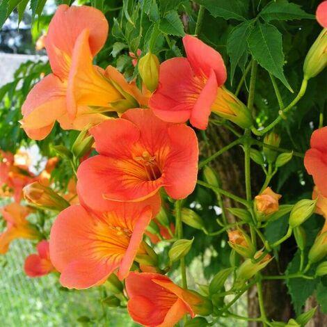 Bignone 'Grandiflora' (Campsis 'Grandiflora') - Conteneur 3L - Taille 20/40cm