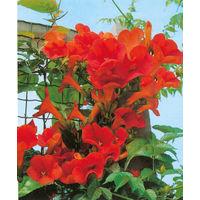 Bignonia Mme GALEN (Campsis) - la plante 20/30 cm en container 1 litre - Plantes grimpantes