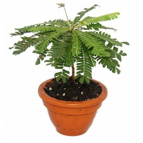 Biophytum sensitivum - Palmier des mers du Sud - Pot en argile de 9cm - La plante qui bouge - Idéal pour les enfants - Mini Palmier