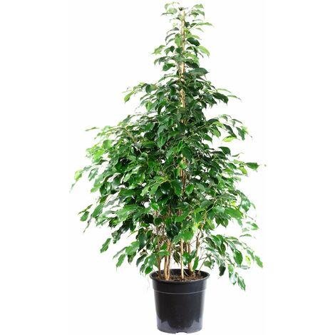 "Birkenfeige ""Danielle"" - Höhe ca. 160 cm, Topf-Ø 27 cm - Ficus benjamini"