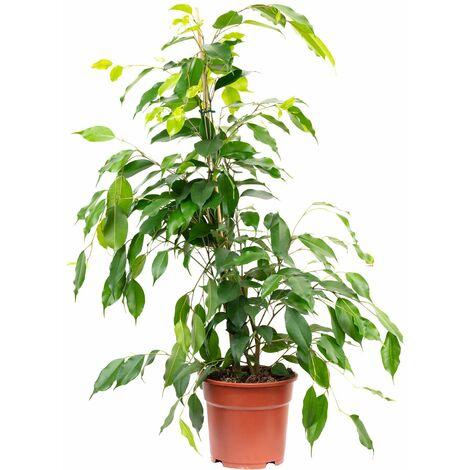 "Birkenfeige ""Forever"" - Höhe ca. 75 cm, Topf-Ø 17 cm - Ficus benjamini"