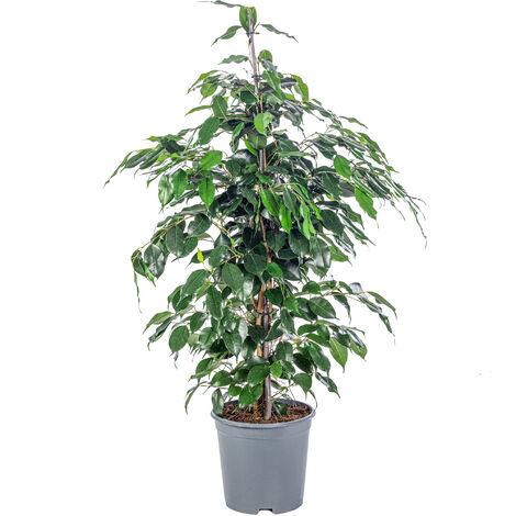Birkenfeige - Höhe ca. 110 cm, Topf-Ø 21 cm - Ficus benjamini