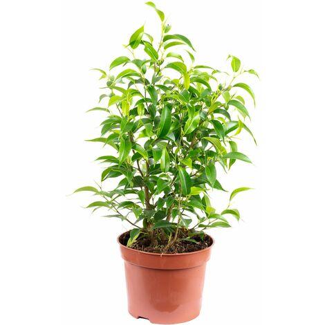"Birkenfeige ""Natasja"" verzweigt - Höhe ca. 30 cm, Topf-Ø 12 cm - Ficus benjamini"