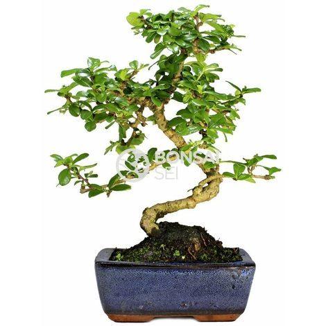 Bonsai carmona microphila 6 años