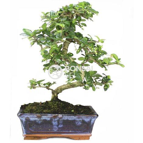 Bonsai carmona microphila 8 años