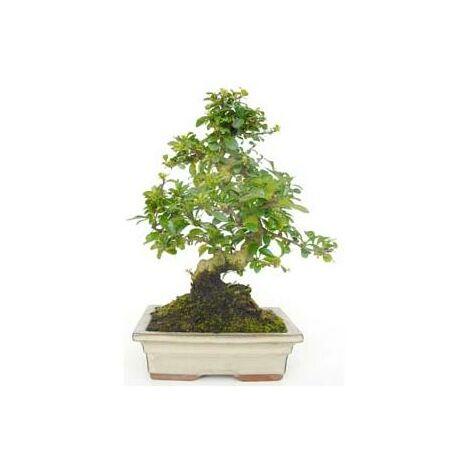 Bonsái Carmona microphylla 8 años