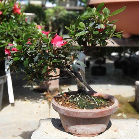 Bonsai da esterno Azalea - 15 cm