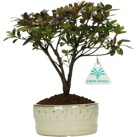Bonsai da esterno Azalea - 22 cm