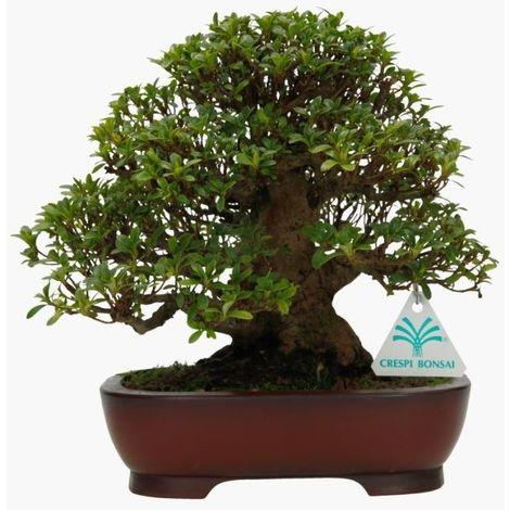 Bonsai da esterno Azalea - 23 cm