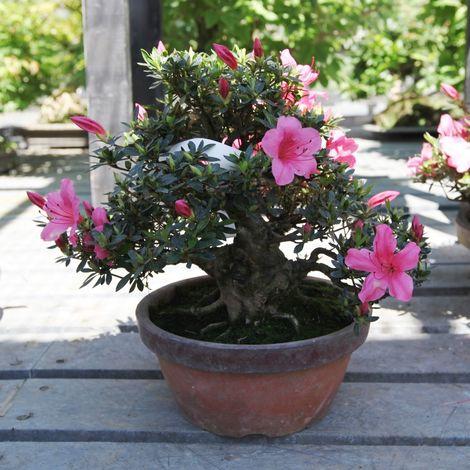 Bonsai da esterno Azalea - 25 cm