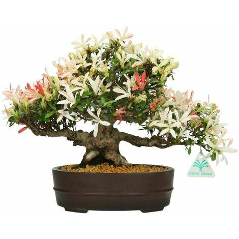 Bonsai da esterno Azalea - 26 cm