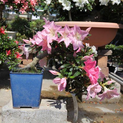 Bonsai da esterno Azalea - 28 cm