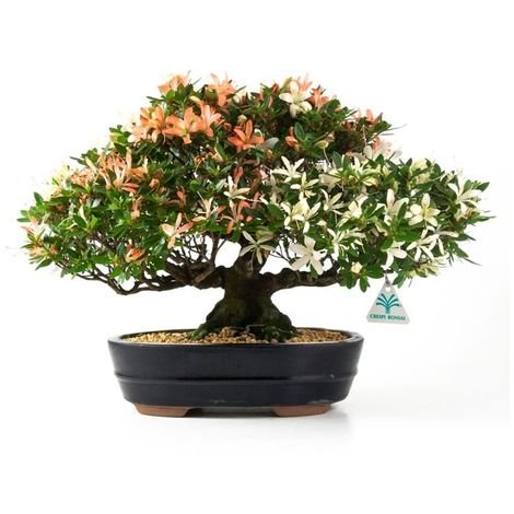 Bonsai da esterno Azalea - 29 cm