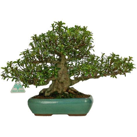 Bonsai da esterno Azalea - 30 cm