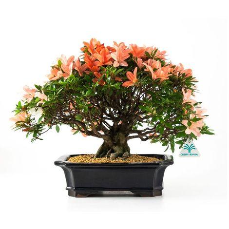 Bonsai da esterno Azalea - 31 cm