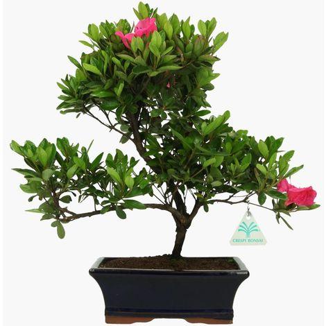 Bonsai da esterno Azalea - 35 cm