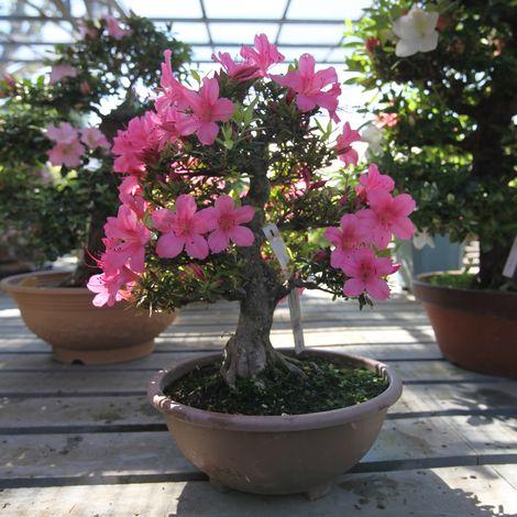 Bonsai da esterno Azalea - 36 cm