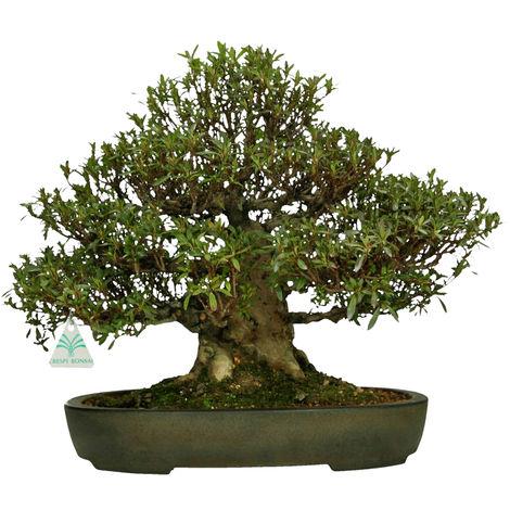 Bonsai da esterno Azalea - 40 cm