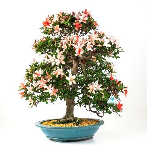 Bonsai da esterno Azalea - 58 cm