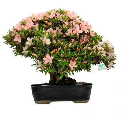 Bonsai da esterno Azalea Var. Nikko - 43 cm