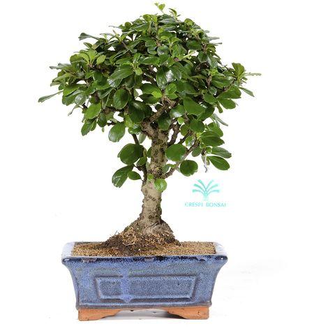 Bonsai da interno Carmona macrophylla - Pianta del tè - 27 cm