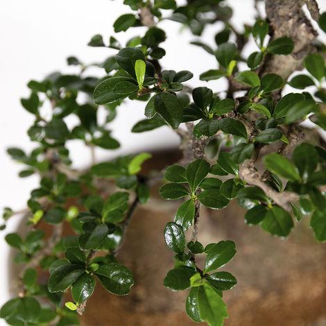 Bonsai da interno Carmona macrophylla - Pianta del tè - 45 cm