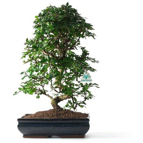 Bonsai da interno Carmona macrophylla - Pianta del tè - 51 cm