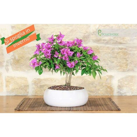 Bonsai di Bougainvillea in ciotola bassa