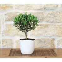 Bonsai di Olivo in vaso quadrato