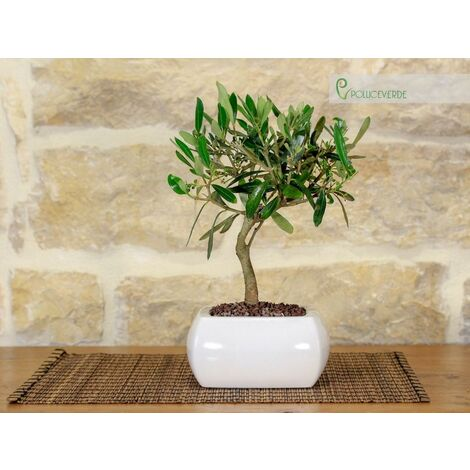 Bonsai di Olivo in vaso quadro bianco
