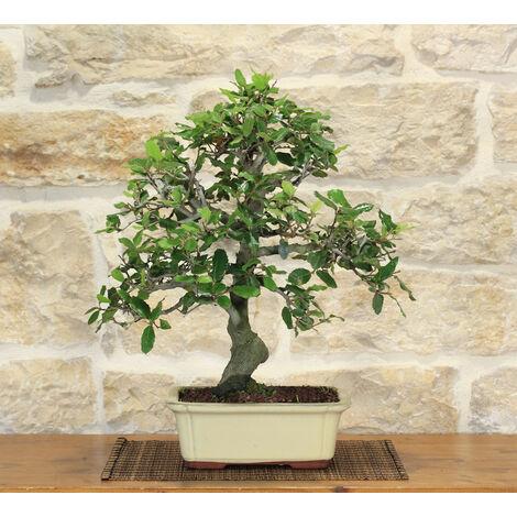 Vaso Tokoname giapponese da coltivazione per bonsai 37,0x16,7 cm TC12