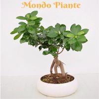 Bonsai Ficus Ginseng 500g, altezza 500cm