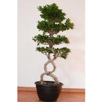Bonsai Ficus Ginseng Special, Altezza 150cm