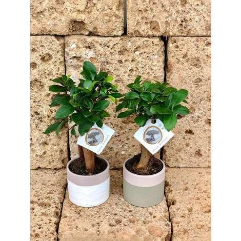 Bonsai Ficus Ginseng Vaso In Ceramica