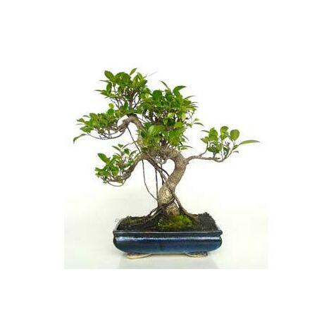 Bonsái Ficus retusa 10 años