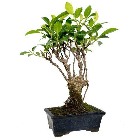 Bonsái Ficus retusa 5 años