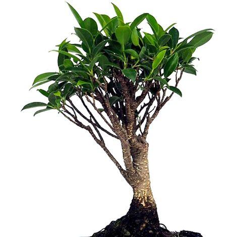Bonsai Ficus Retusa. 5 Años