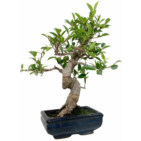 Bonsái Ficus retusa 6 años