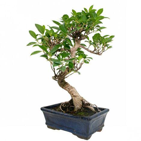 Bonsái Ficus retusa 8 años