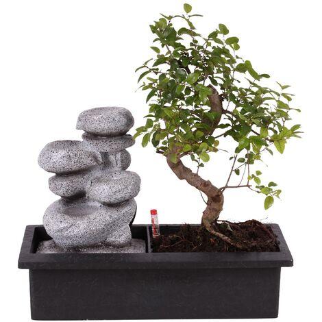 "main image of ""Bonsaï figuier chinois 6-7 ans avec fontaine Bouddha"""