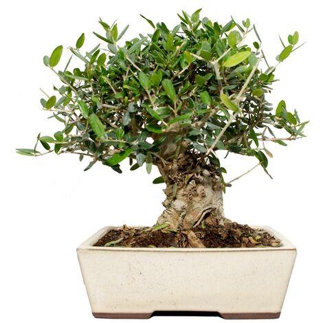 Bonsái Olea europaea sylvestris 12 años ACEBUCHE
