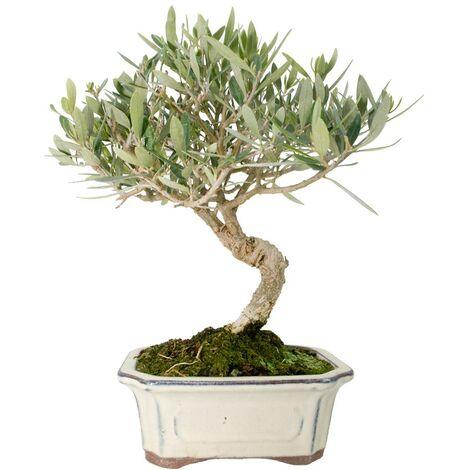 Bonsái Olea europaea sylvestris 7 años
