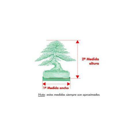 Bonsái Pinus Halepensis 7 años