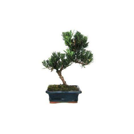 Bonsái Podocarpus macrophyllus sp. 7 años
