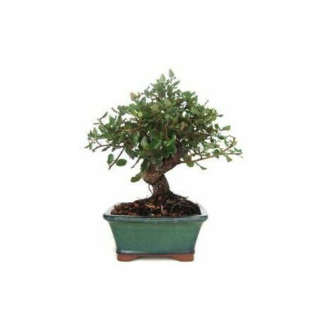 Bonsái Quercus suber 7 años ALCORNOQUE